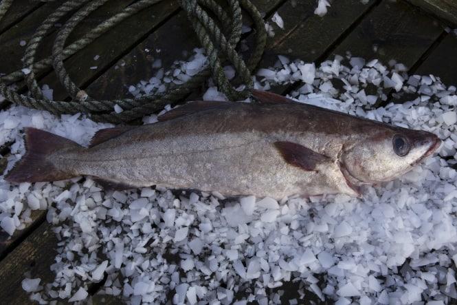 Ugens fisk: Lyssej